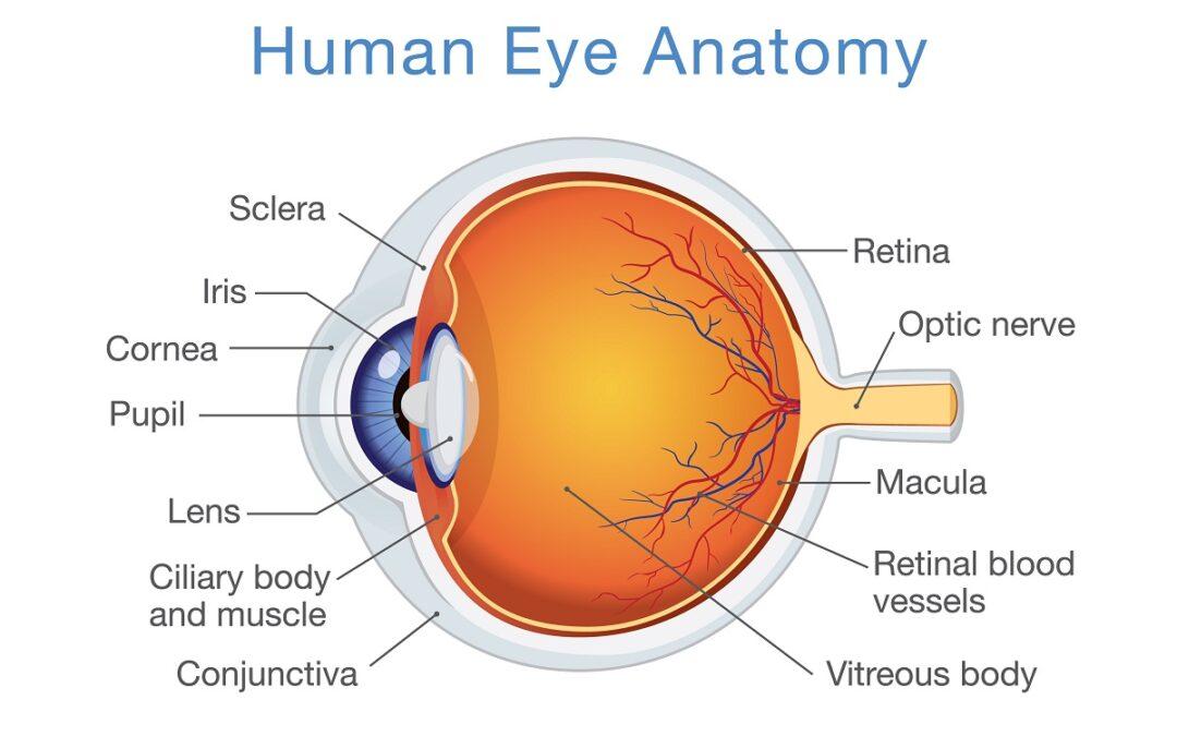 The Basic Anatomy of the Eye